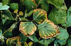 potassium deficiency on? symptoms generally first appear on older leaves