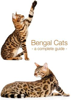 Where do Bengal Cats come from? What are they like to live with, and are you ready for one of these amazing and beautiful animals