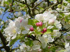 La saison des pommiers en fleur...