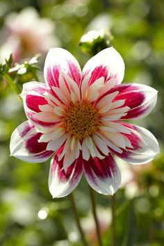 Collarette dahlia - Fashion Monger - Oh Darling. Exotic Flowers, Amazing Flowers, Colorful Flowers, Beautiful Flowers, Wild Flowers, Imagen Natural, Dahlia Flower, Flower Images, Flower Pictures Roses