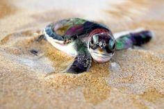 I love baby sea turtles! <3