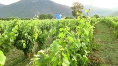 Επιστολή – Διαμαρτυρία προς τον Υπουργό Αγροτικής Ανάπτυξης και τον Υφυπουργό Αγροτικής Ανάπτυξης, απέστειλε ο Vineyard, Plants, Outdoor, Outdoors, Vine Yard, Vineyard Vines, Planters, Outdoor Living, Garden
