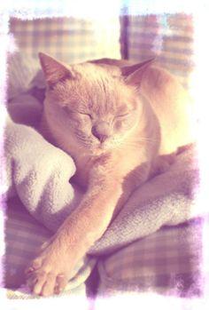 Kako-Tonkinese Crazy Cat Lady, Crazy Cats, Tonkinese Kittens, Cat Breeds, Cute Cats, Kitty, Friends, Animals, Kittens