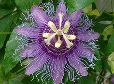 Passiflora - butterflies love them. They grow wild in the woods surrounding my Florida home.