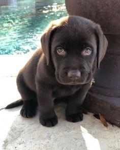 30 Cutest Labrador Retriever Images Make Your Heart Melt - Animals Comparison Super Cute Puppies, Cute Baby Dogs, Cute Dogs And Puppies, Doggies, Cute Little Animals, Cute Funny Animals, Cute Animal Pictures, Dog Breeds, Dog Lovers