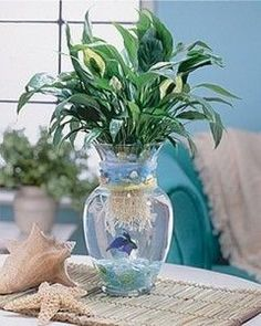 """Peace Lily & beta fish--What my first """"water garden"""" looked like :) I water plants! Bromeliad or tropical plant Beta Fish Centerpiece, Vase Centerpieces, Centerpiece Ideas, Fish Bowl Centerpiece Wedding, Purple Centerpiece, Indoor Aquaponics, Aquaponics Fish, Aquaponics Greenhouse, Beach Wedding Reception"""