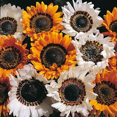Arctotis - Harlequin Mix Seeds Annual 25 seeds per package. hybrida - Gazania like flowers, many colors, compact. Garden Seeds, Planting Seeds, Flower Seeds, Flower Pots, Full Sun Container Plants, Indoor Flowers, Potted Flowers, Perennial Vegetables, Home Garden Plants