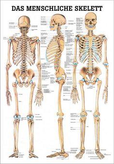 Das menschliche Skelett, 24 x 34 cm, papier