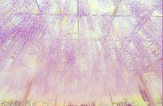 Rooted in Japan's Ashikaga Flower Park Is A 146-Year-Old Wisteria. Its' ever stretching vines upheld by way of supporting steel rods - resulting in a stunning outer display & the secret garden of storybooks within. Venture beneath the floral drapes to uncover a sheltered aromatic canopy above where the daylight pours in overhead through brightly coloured blossoms and drenches the space in psychedelic hues of pink and lavender