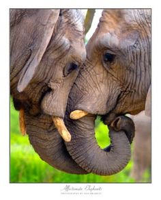 Elephants are deeply affectionate, highly intelligent, and without peer in the animal kingdom when it comes to their relationships, and rich devotion to each other.