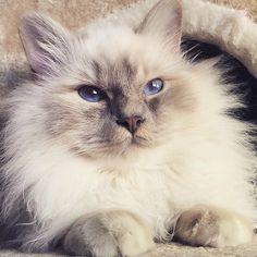 It's #fancyfriday and of course  #felinefriday  Fabulous lilactabby Anik  @johnlennon_thecat is enjoying  the weekend.  #birmans #birman #sacredbirman #heligbirma #birmania #birmanie #pyhäbirma #instabirmans #birmansofinstagram #blueeyes #whitecats #fluffycats #instacats #catsofinstagram #cats #kittens #instakittens #kittensofinstagram #lovecats #birmavanner #tabbycats #toocute #beautifulcats #excellentcats #tortiecats #cutepetclub #lilactabby #lilatabby