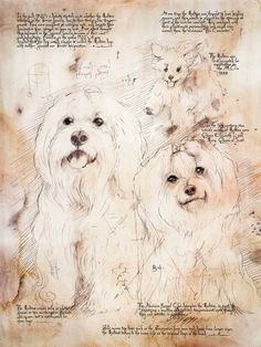 Maltese Study - Framed Giclee print on archival paper. From an original drawing in the style of  Leonardo Da Vinci on Etsy, $145.00