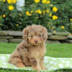 Blue Cadoodle (blue heeler and poodle ) for Sale in