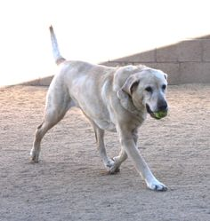 Sweet, social, friendly, and playful, I'm Dillon, the typical, goofy Lab! I love people and other dogs, tennis balls make me smile, and lounging in the sun is the perfect way to spend an afternoon. Take me home today—I'll light up your life! My animal ID is 179679.