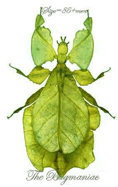 Phyllidae : Phyllium pulchrifolium - The Bugmaniac INSECTS FOR SALE OTHER INSECTS FOR SALE OTHER INSECTS BY ECOZONE ASIAN-AUSTRALASIAN ECOZONE PHYLLIDAE
