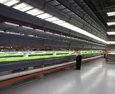 Vertical hydroponic basil factory...