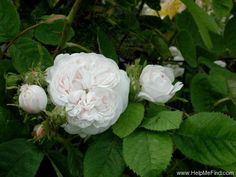 'Madame Zöetmans' Rose ARS Damask rating 8.7