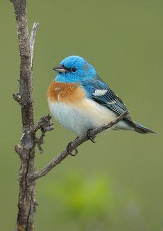 Lazuli Bunting | Found on roysephotos.com