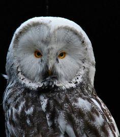 Leucistic Great Grey Owl
