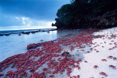 Rossi come il Natale, da cui la loro isola prende il nome. Le foto di una delle più epiche traversate del mondo animale: quella che porta questi crostacei dalle foreste fino al mare e viceversa.