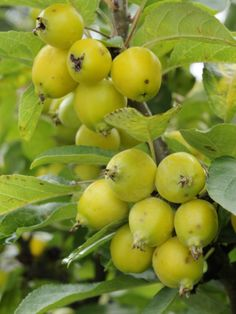 Crabapples or wild apples are edible fruits native to the temperate regions of Northern Hemisphere
