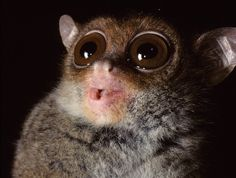Tiny Primate Communicates Secretly In Ultrasound The Philippine tarsier, a small nocturnal animal, has the world's highest pitched primate vocalization ever documented. The distinctive tiny tarsier. Nocturnal Animals, Nature Animals, Baby Animals, Cute Animals, Primates, Mammals, Slow Loris, Discovery News, Baboon