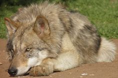 Support the Wolf Conservation Center