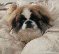 Gizmo my baby Pekingese 🤗