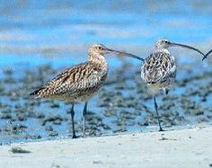 Moreton Bay shorebirds.