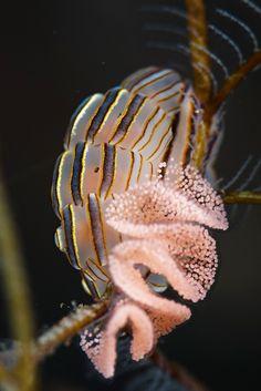 Doto Greenamyeri - Donut Nudibranch Laying Eggs by Luko GR Underwater Creatures, Underwater Life, Ocean Creatures, Weird Creatures, Under The Ocean, Sea And Ocean, Beautiful Sea Creatures, Sea Slug, Water Animals