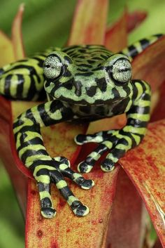 Tiger's Treefrog. This species was only recently described in 2008 in the jungles of Colombia and Ecuador. A population size estimate only puts fewer than 250 mature individuals in the wild.