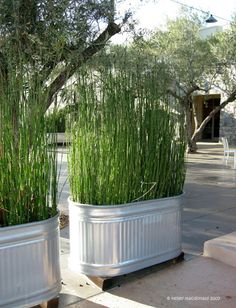 Planting tall grass in Galvanized Tubs for privacy screens. Smart. put on wheels so they can be moved around.