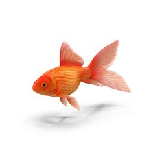Goldfish images available for download as PNGs with transparency or layered PSDs on PixelSquid.com.