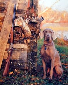 Wild Weimaraner Dog Hunting Animal Wall Decor Art Print P... https://www.amazon.com/dp/B008NKOMB2/ref=cm_sw_r_pi_dp_x_Ijq6xbV2Q15E9