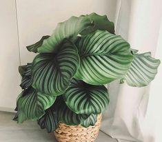 Leafy Plants, Green Plants, Indoor Plants, Potted Plants, Calathea Orbifolia, Plant Aesthetic, House Plant Care, Office Plants, Plant Pictures