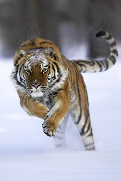 Siberian Tiger | Animals of MontanaAnimals of Montana