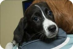 #BirminghamAL - Meet Penny a puppy for adoption #TheGBHS #BhamAL #BhamPets