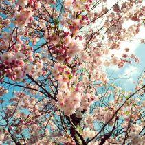 cherry tree in spring - Kirschblütenbaum und Wolken