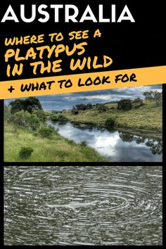 How To See A Platypus In The Wild in NSW: Secrets About Where & What To Look For #Australia #Wildlife #platypus