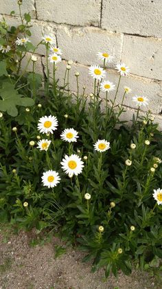 Delightful Daisies Daisy Wallpaper, Flower Phone Wallpaper, Nature Wallpaper, Sunflowers And Daisies, Rock Flowers, Wild Flowers, Little Flowers, Beautiful Flowers, Daisy Love