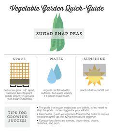 Vegetable Garden Quick Guide: How to grow sugar snap peas // modiggity.com #gardening #vegetables