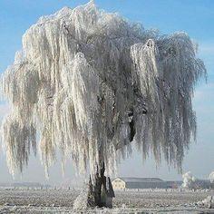 Snowy Willow Tree, Norway