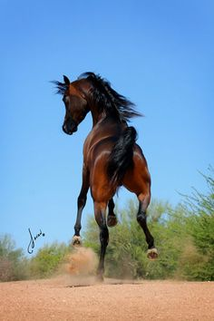 FA NIKEESE. (Sir Fames BBV by FAME VF/MUSCAT x Original Psyn IA by PADRONS PSYCHE)  Bay Stallion