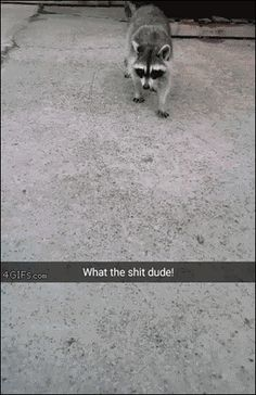 Raccoon is too smart for you