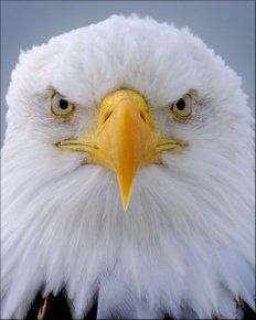 Amazing shot taken by Claude Steelman from Wild Shots.  Eagle Portrait 114