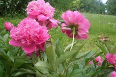Enamik pojengiliike eelistab aias avatud päikeselist kasvukohta, kuid leidub neidki, kes edenevad ebasoodsamates kohtades.