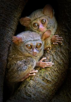 These Tarsier's are the Worlds smallest primate...  I love their huge eyes!