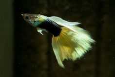 half black yellow guppies  The Half Black Yellow is a striking looking fish with it's bright yellow tail and contrasting half black body.