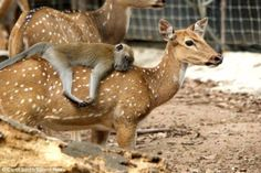 6.) This Chital deer was the only one to let a little macaque ride around on her back at a zoo in Malaysia. As a reward, the little guy groomed her and took a snooze.