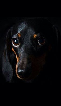 Find Out More On The Inquisitive Dachshund Puppies Exercise Needs Dachshund Funny, Dachshund Puppies, Dachshund Love, Cute Puppies, Dogs And Puppies, Cute Dogs, Daschund, Black Dachshund, Dapple Dachshund